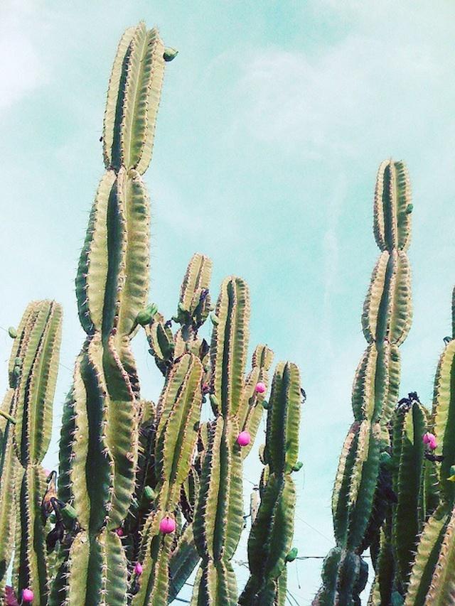 cactus à fleurs roses in the sky et pastels bleus