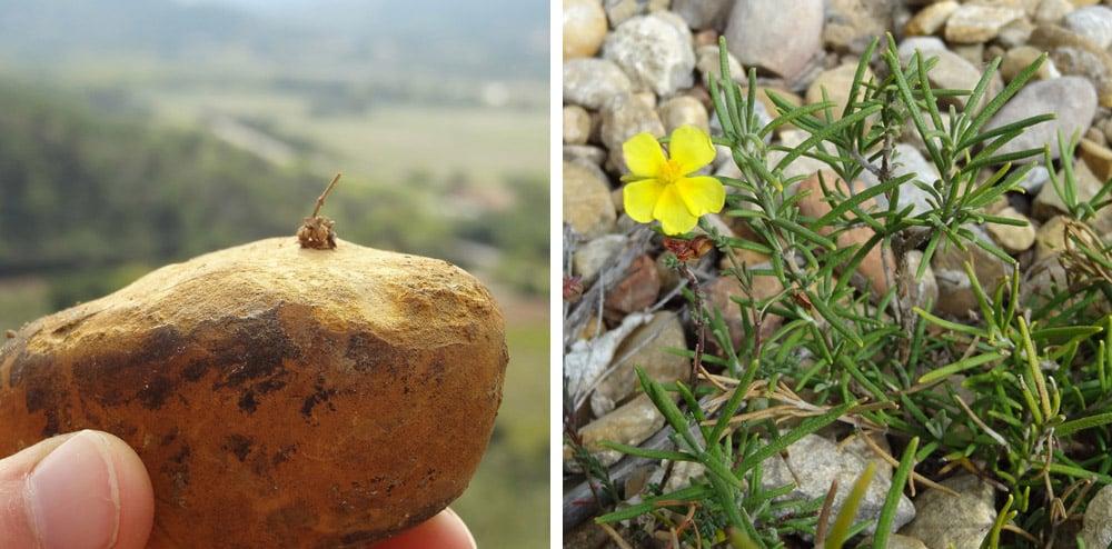 romarin et minuscules abris sous pierres