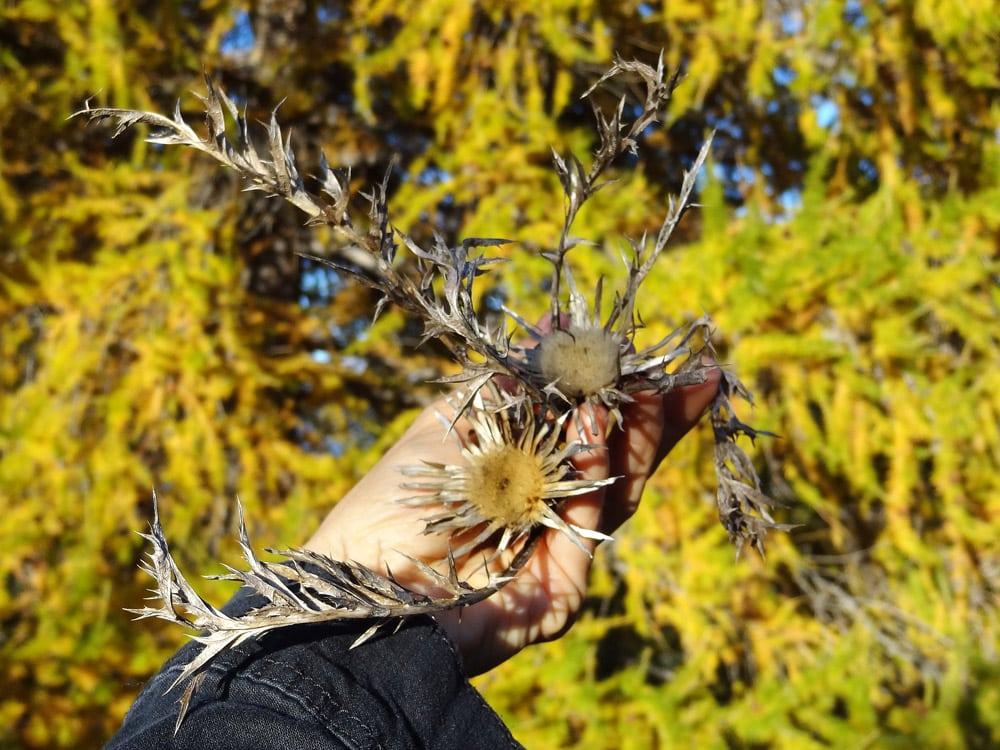 fleurs des alpes automne