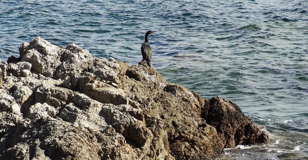 animaux de corse oiseaux de mer