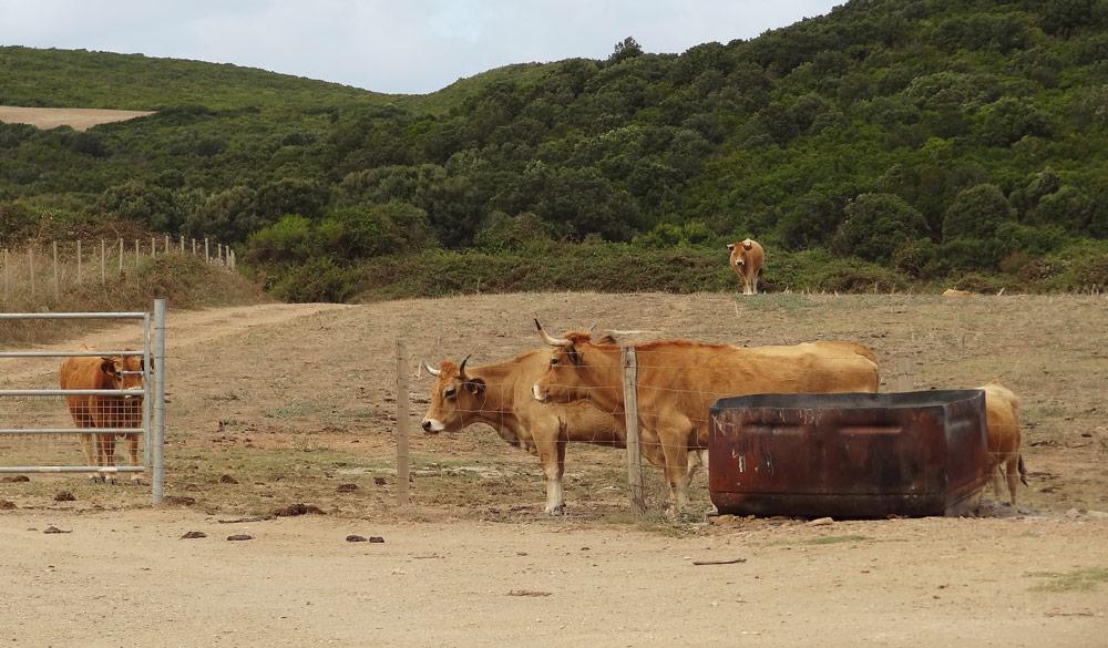 animaux en corse vaches promenade cap corse