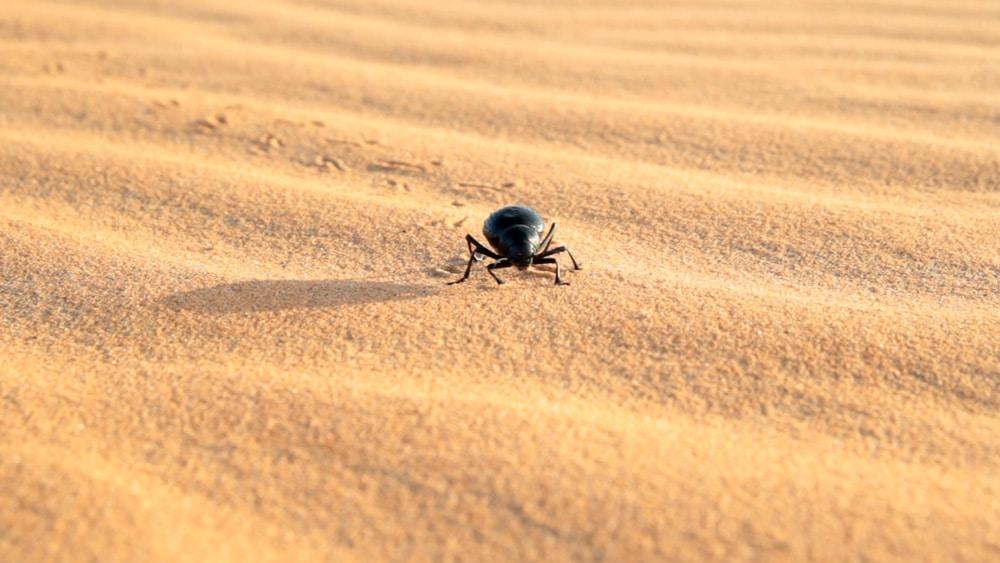 scarabée dans le désert du Maroc