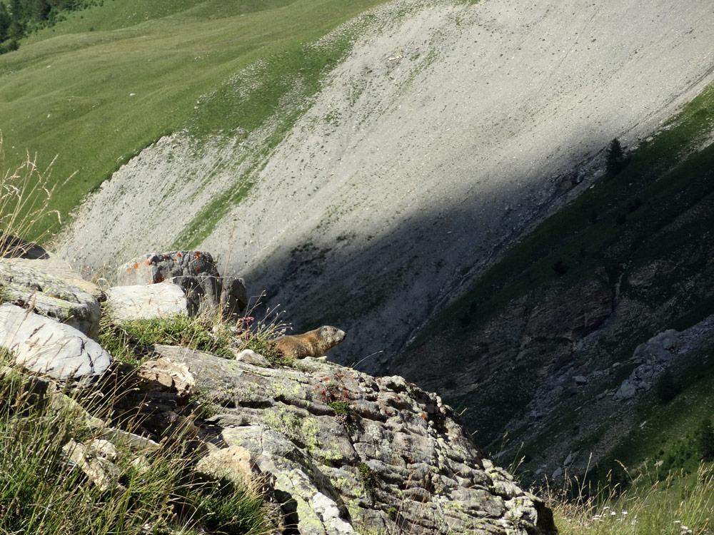 marmotte-parc national du mercantour lauzanier