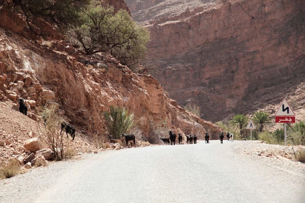 sud-du-maroc-tafraoute-chevres-carnet-de-voyage