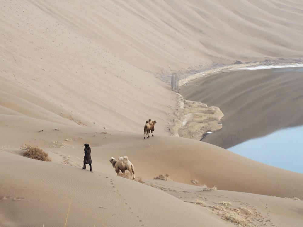 chameau desert chine plus hautes dunes badain jaran