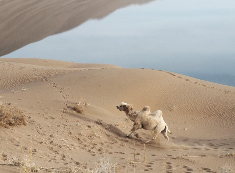 chameau desert de chine badain jaran lac