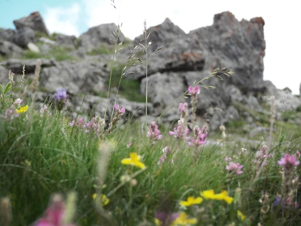 fleurs de montagne lac couleurs Chambeyron Alpes