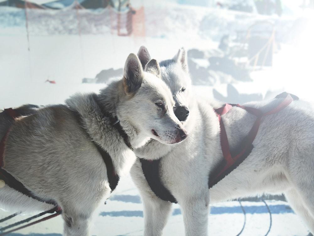 chiens de traîneaux dans quelle station de ski ?