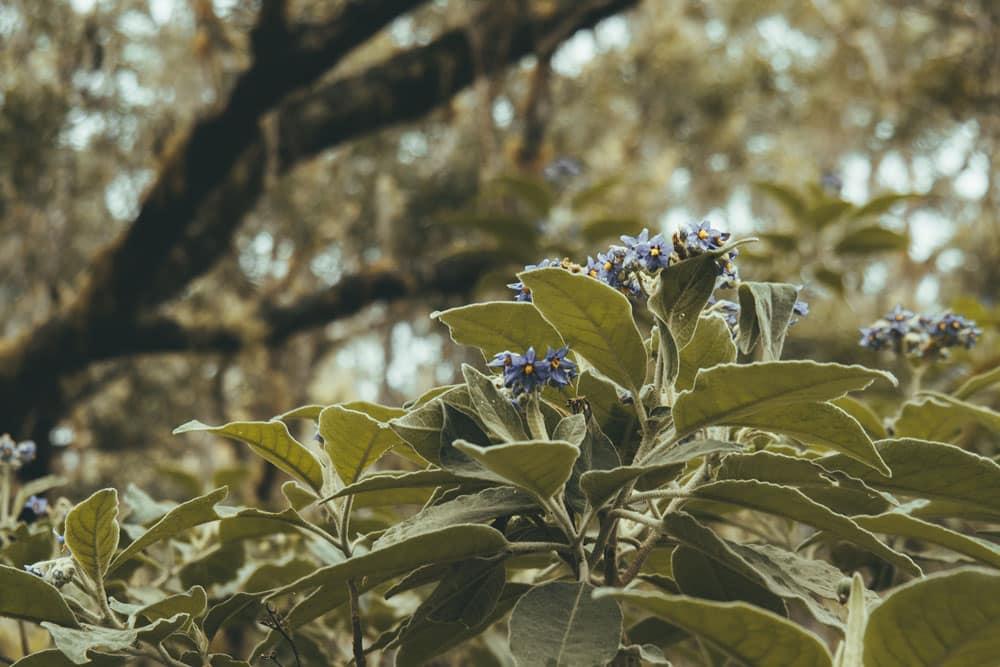 plantes de La Réunion cirque Mafate