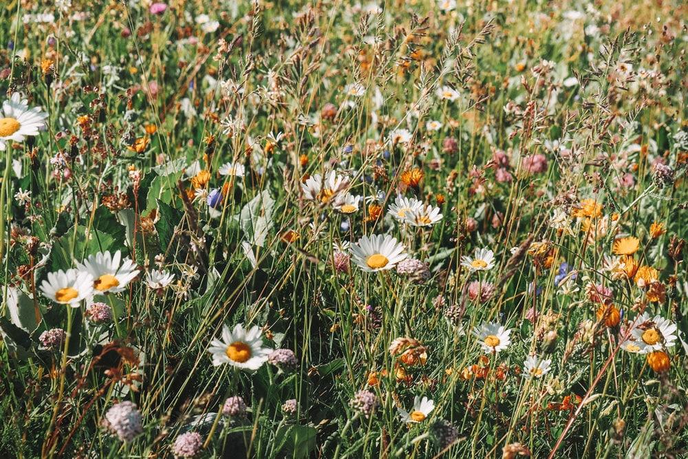 fleurs de montagne Alpes La Plagne