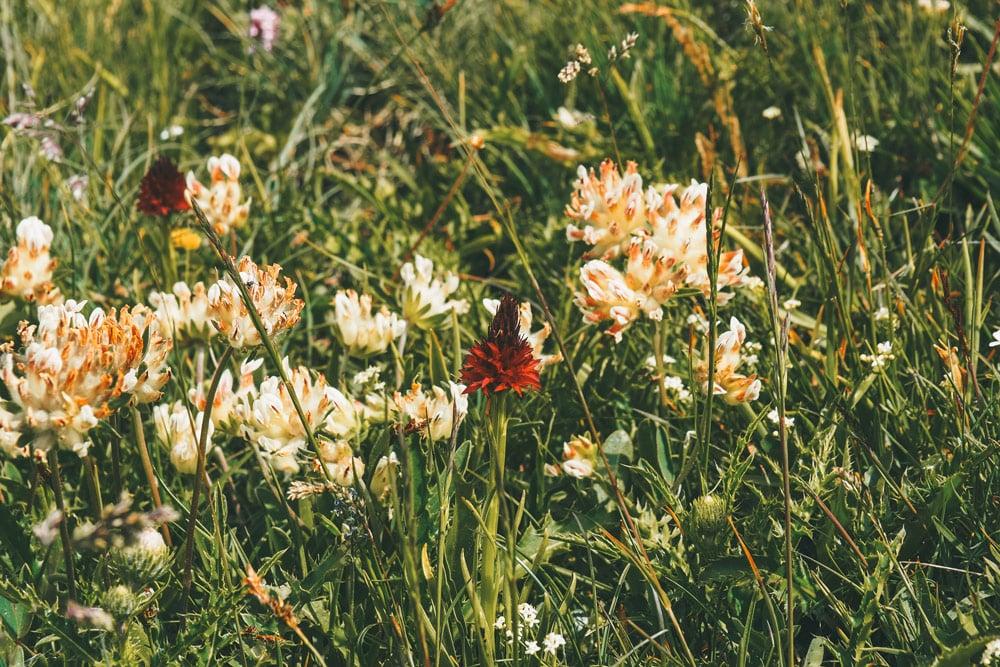 Nigritelle Orchis Vanille des Alpes La Plagne