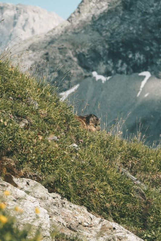 voir des marmottes en randonnée Vanoise