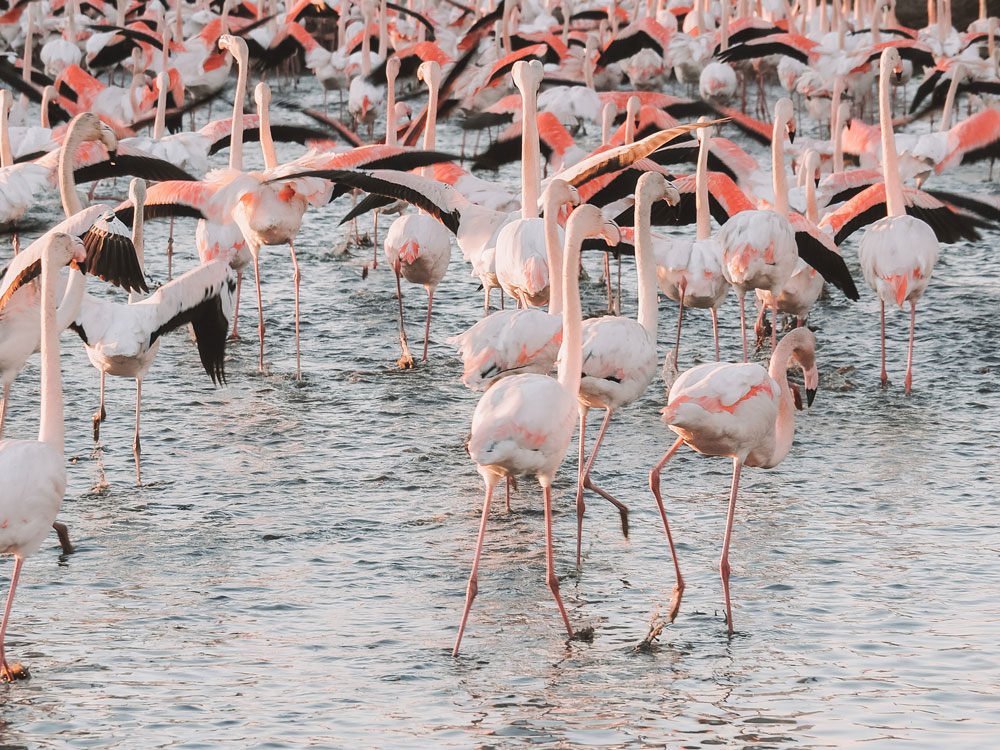 assister au nourrissage des flamants roses Camargue