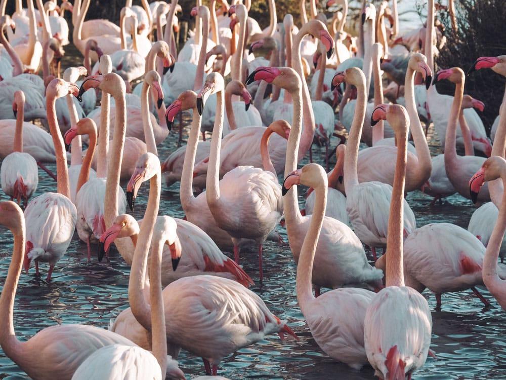 balade parc flamants roses Pont de Gau Saintes Maries de la Mer