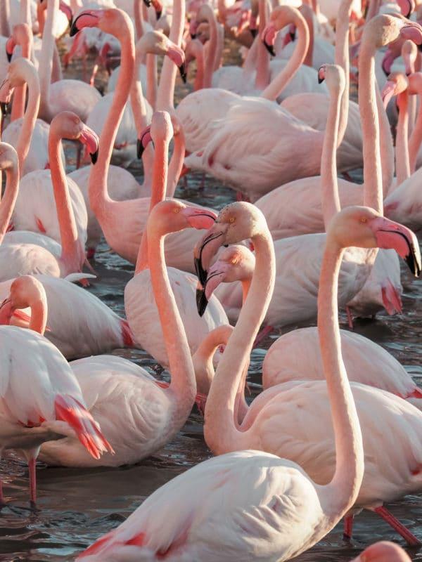 partir à la rencontre des flamants roses Camargue