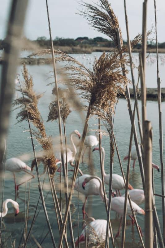 réserve oiseaux de Camargue flamants roses